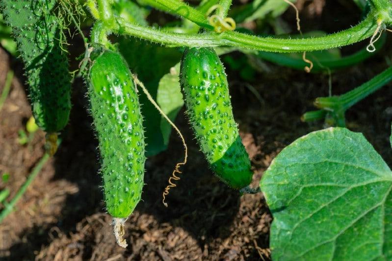 Cucumbers Garden