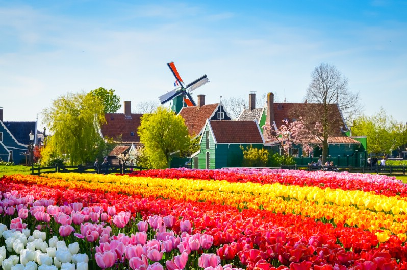 Colorful tulip garden next to cozy houses.