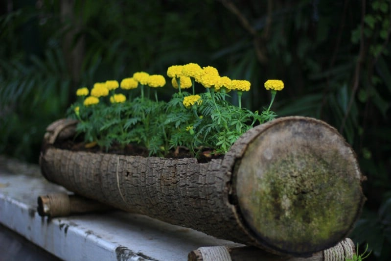 Yellow Springtime Blossoms in a Rustic Log Planter