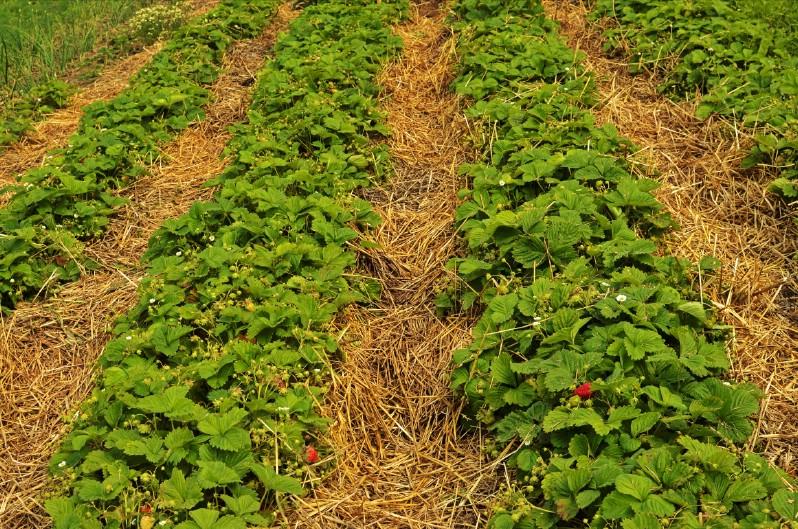 Straw mulch in a strawberry garden.