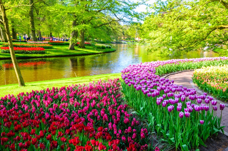 Colorful tulips next to a river