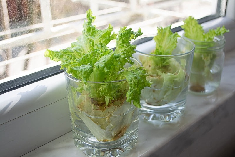 Lettuce grow in water