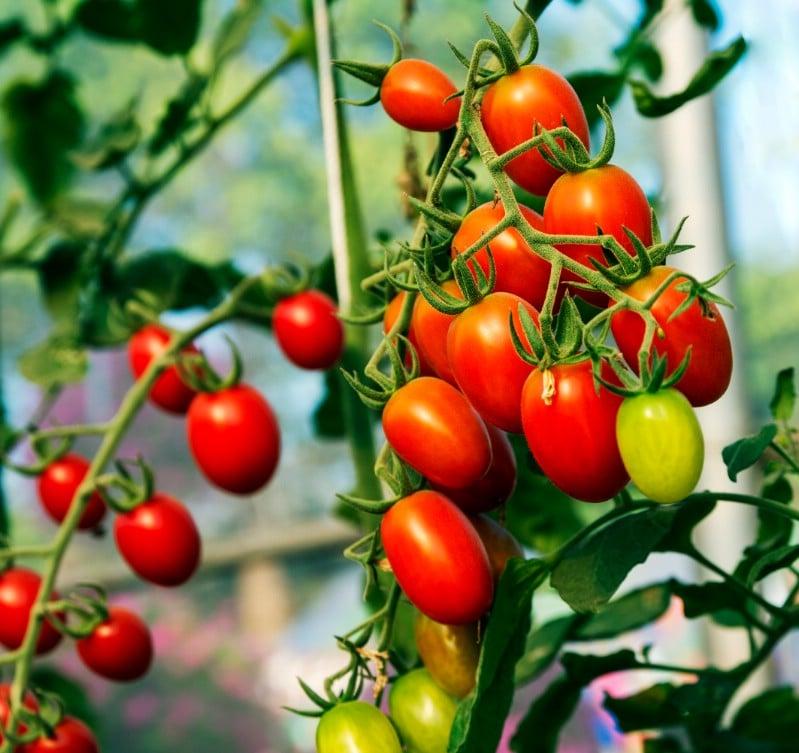 Tomatoes Garden