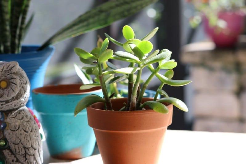 Jade grown from cuttings