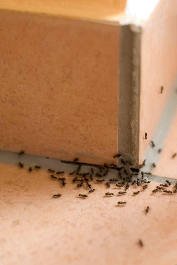 Ants in corner