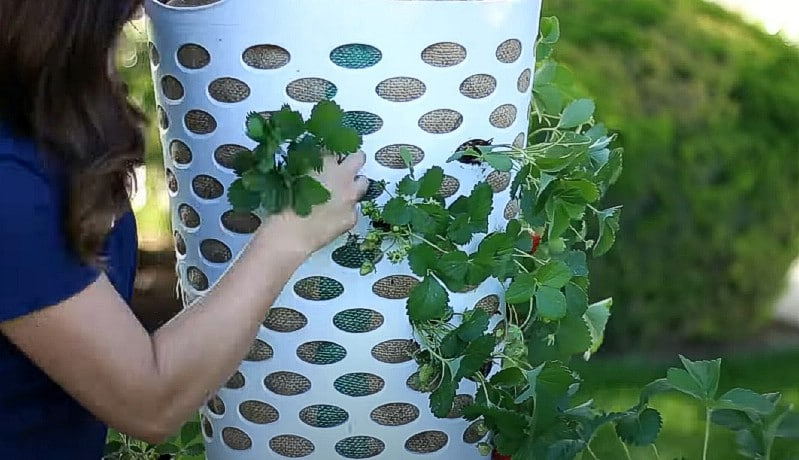 Adding the strawberry plants.