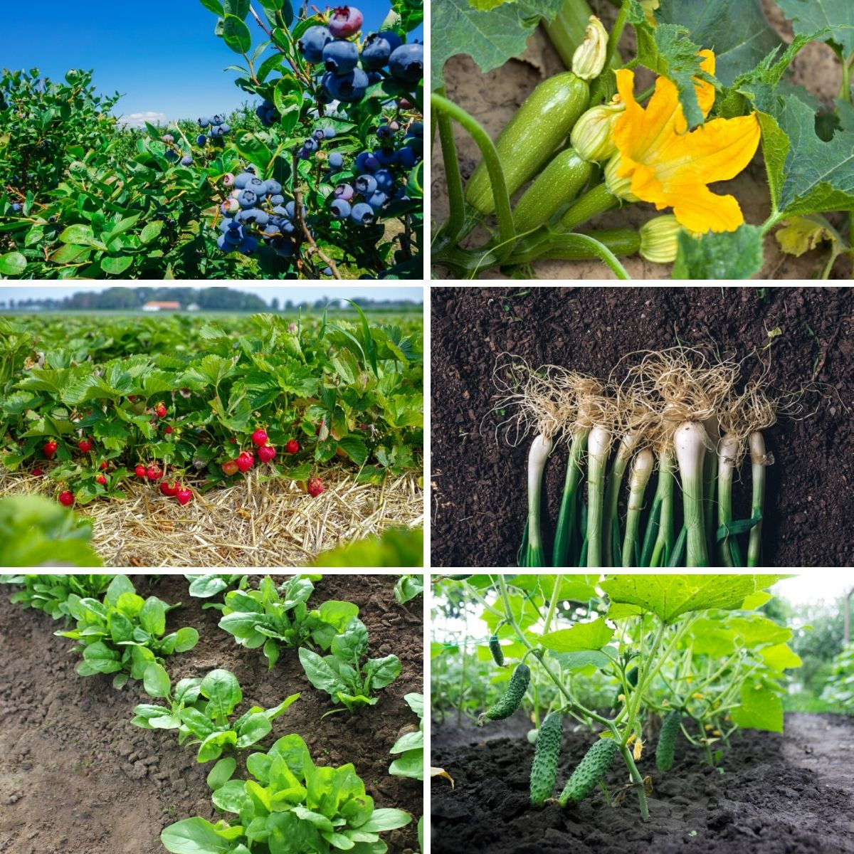 Fastest Growing Vegetables, Berries, and Herbs - Collage photo
