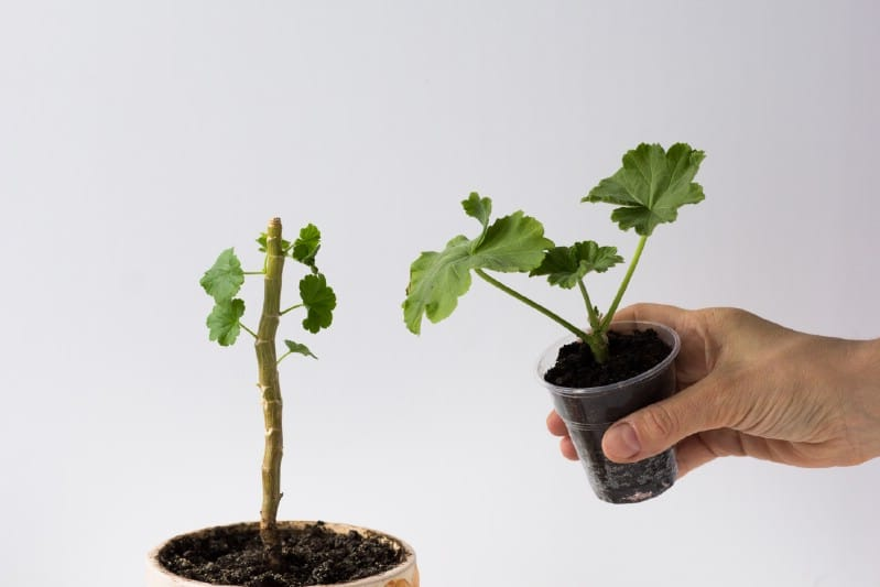Planting the cutting in a small pot