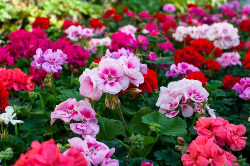 Geraniums grown from cuttings