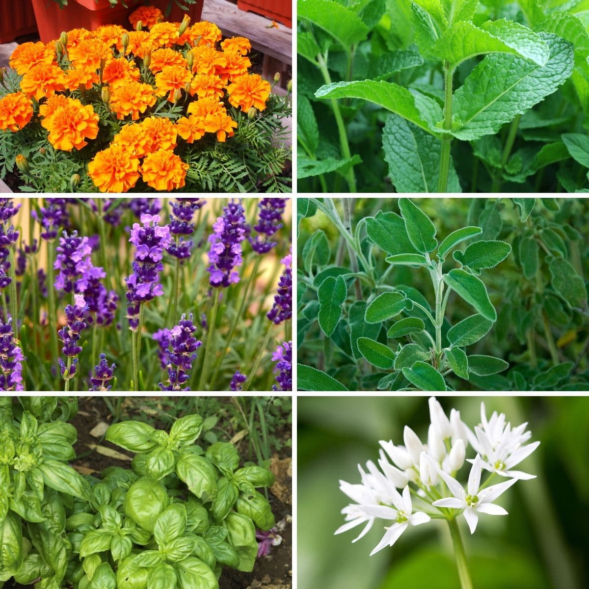 10 Plants Mosquitoes Hate and Repel Them Naturally
