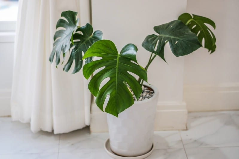 Philodendron grown from cuttings