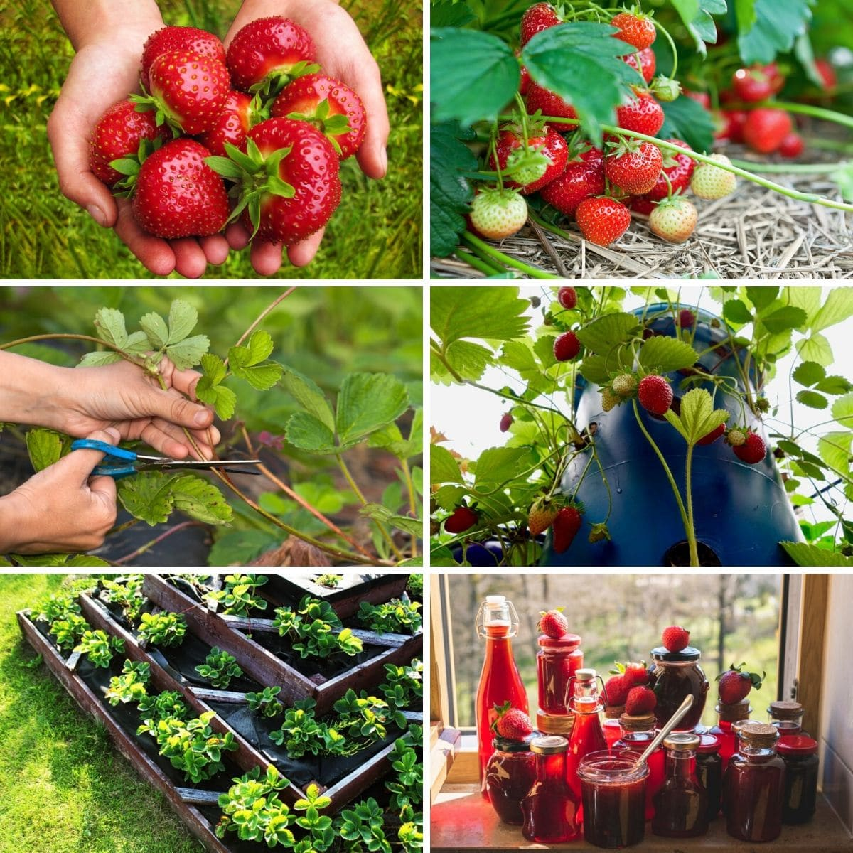 Strawberry gardening tips collage photo.