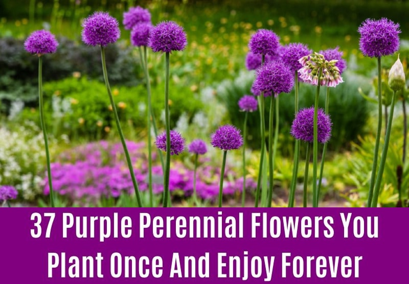 Allium - Purple Perennial Flower