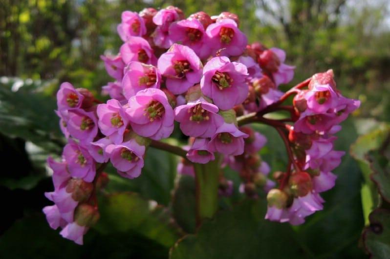 Bergenia - pink perennial flower