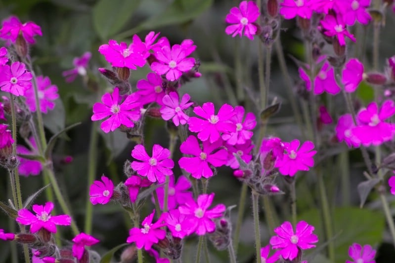 Campions - pink perennial flower