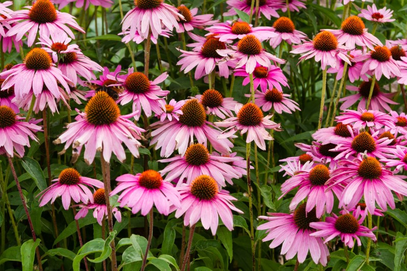 Coneflower - perennial flower that blooms all season