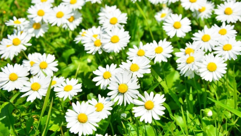 Daisies - Edible weeds and wildflowers