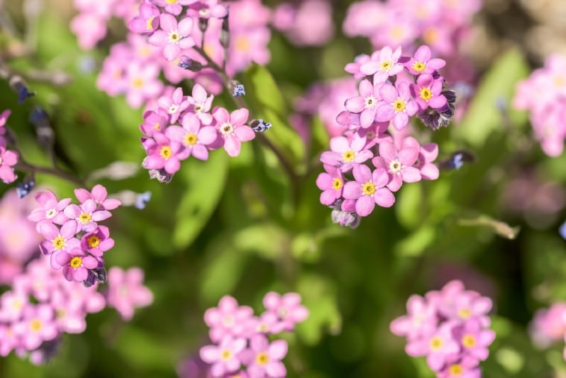 Forget-Me-Not - pink perennial flower