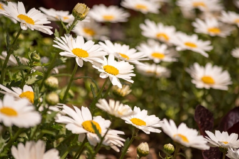Becky Shasta Daisy - perennial flower that blooms all season
