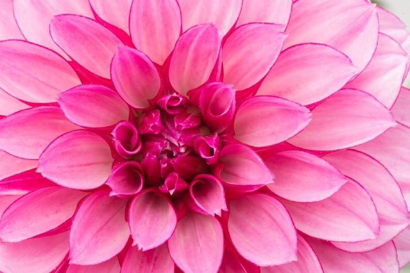 Dahlias - pink perennial flower