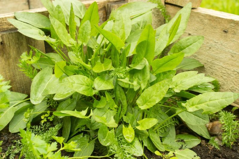 Sorrel - Edible weeds and wildflowers