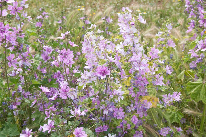 Mallow - Edible weeds and wildflowers