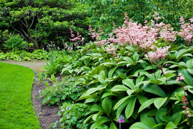 Rodgersia - pink perennial flower