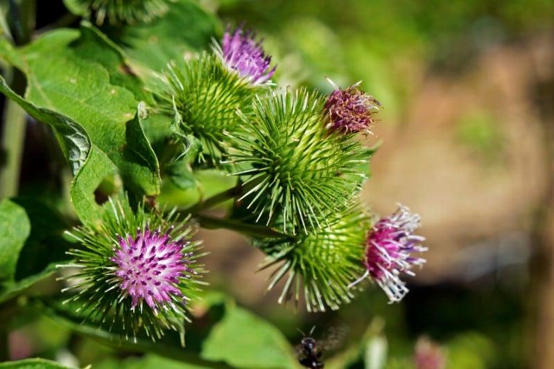 Burdock - Edible weeds and wildflowers
