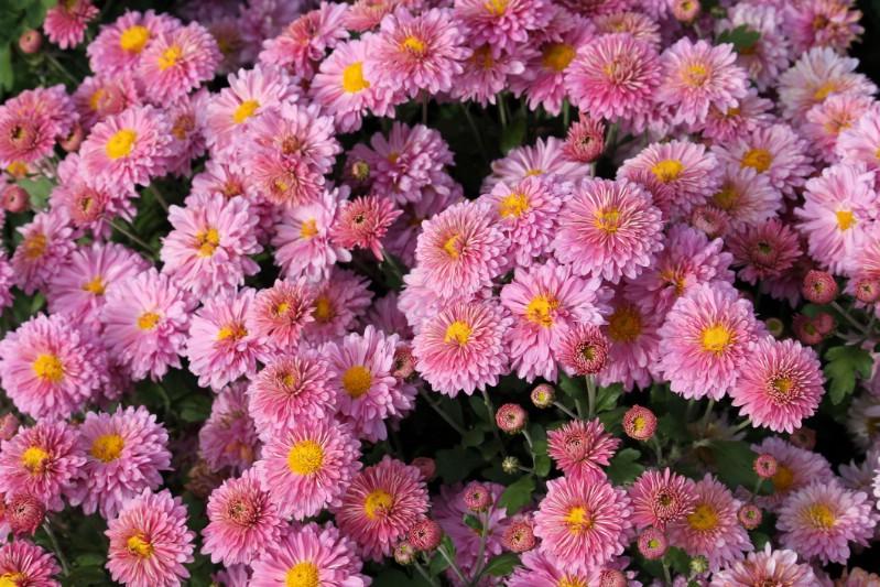 Chrysanthemum - pink perennial flower