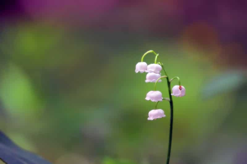 Lily-of-the-Valley - pink perennial flower