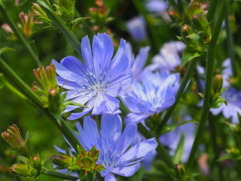 Chicory - Edible weeds and wildflowers