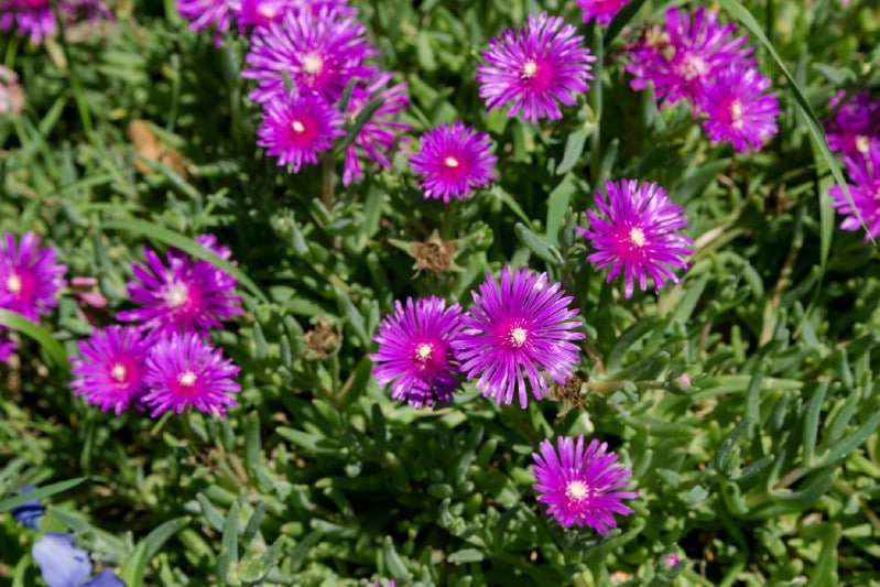 Ice Plant - perennial flower that blooms all season