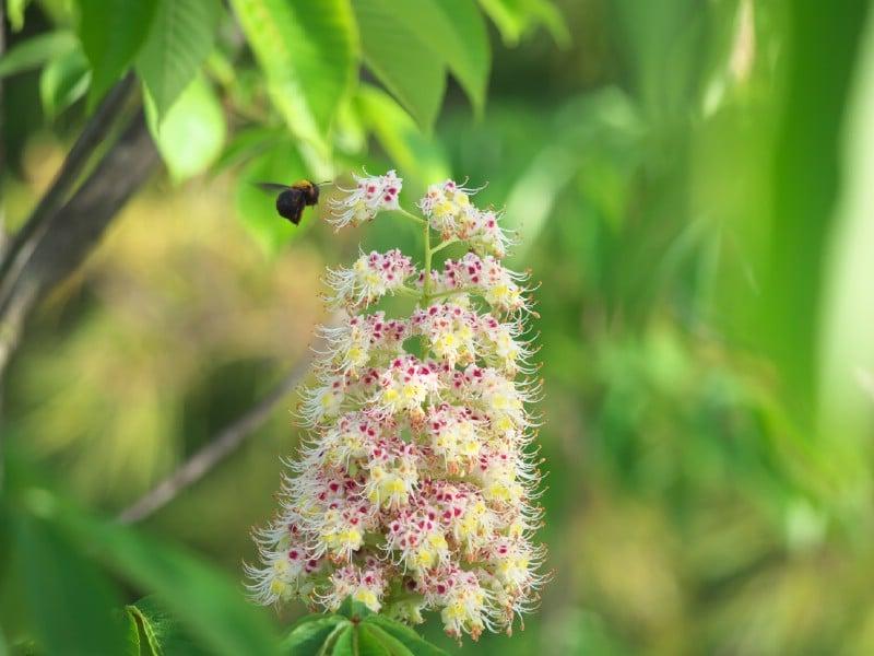 Japanese Horse Chestnut