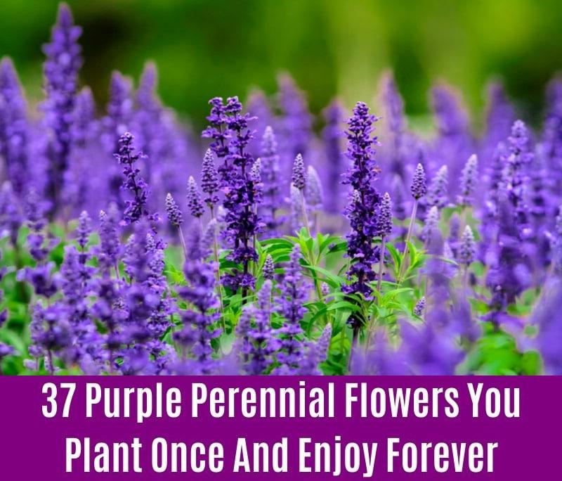 Perennial Salvia - Purple Perennial Flower