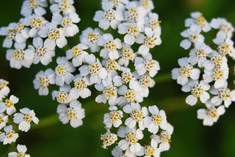 Yarrow - perennial flower that blooms all season