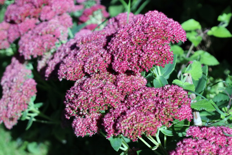 Autumn Joy Stonecrop - perennial flower that blooms all season
