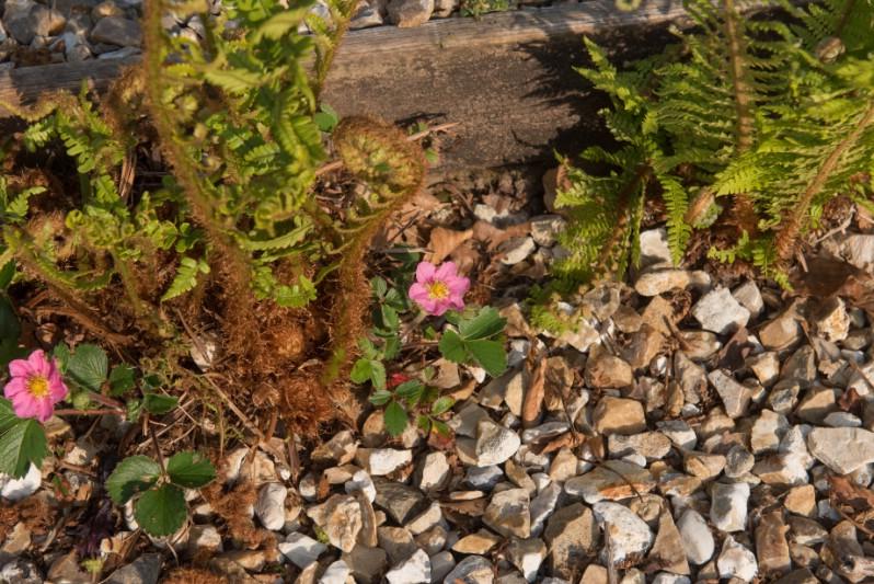 Fragaria - pink perennial flower