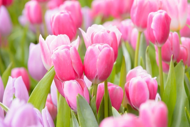 Tulips - pink perennial flower