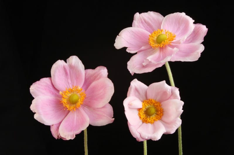 Anemone - pink perennial flower