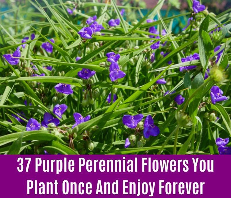 Tradescantia - Purple Perennial Flower