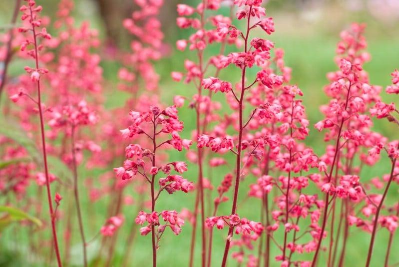 Coral Bells - pink perennial flower