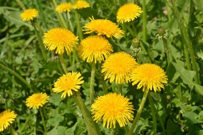 Dandelions - Edible weeds and wildflowers