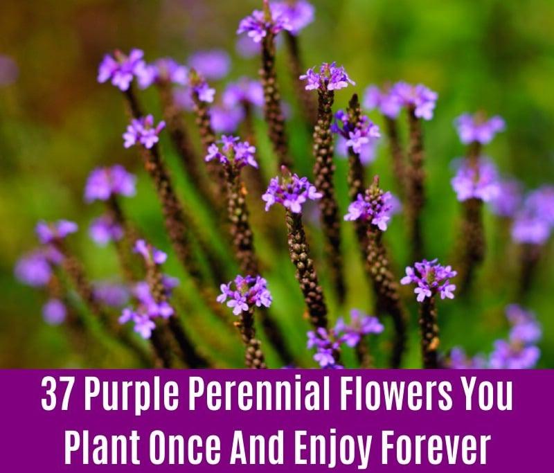 Vervain - Purple Perennial Flower