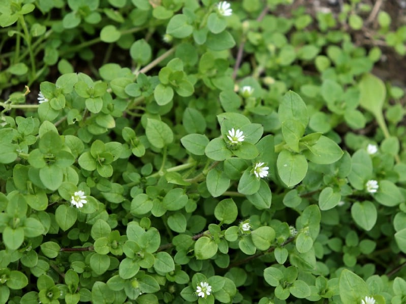 Chickweed - Edible weeds and wildflowers