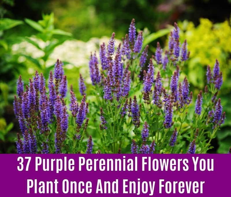 Veronicas - Purple Perennial Flower