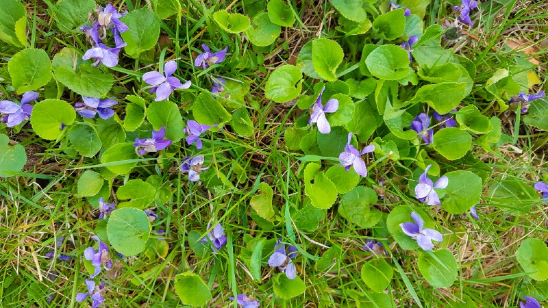 Wild violet - Edible weeds and wildflowers