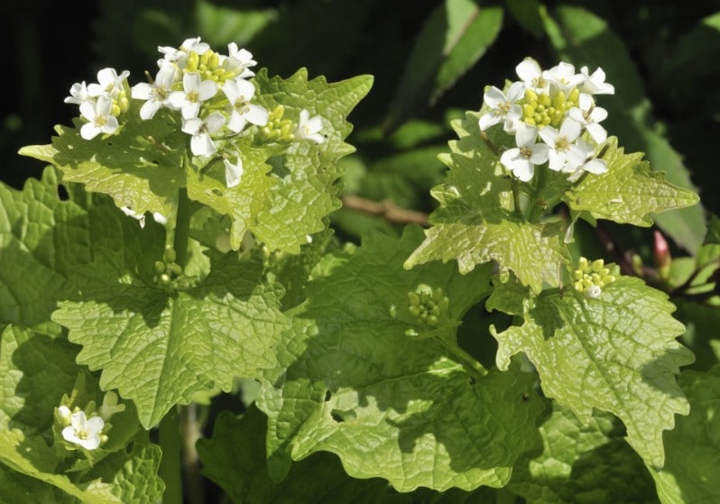 Garlic mustard - Edible weeds and wildflowers