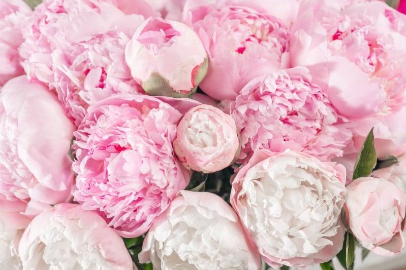 Peonies - pink perennial flower