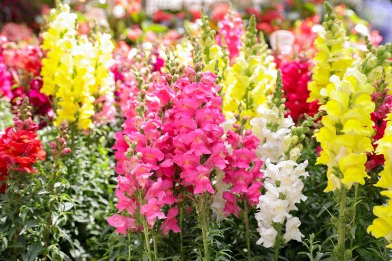 Antirrhinum 'Pretty in Pink' - pink perennial flower