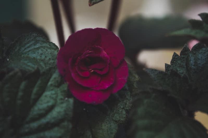 Achimenes - pink perennial flower